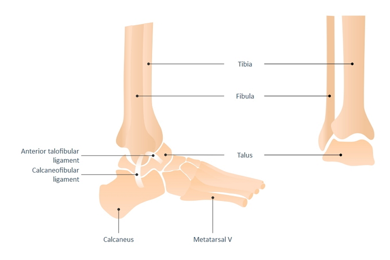 Ankle Joint Drawing