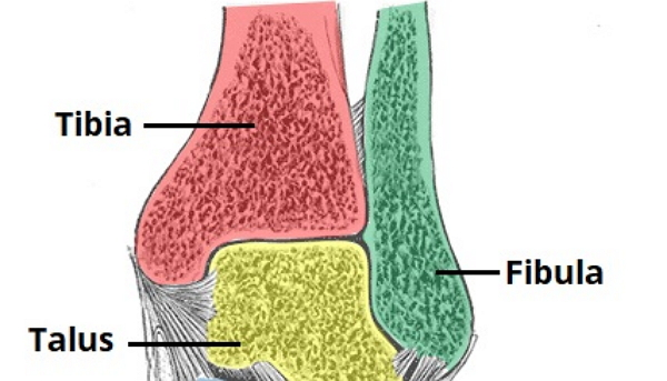 How to Create Ankle Joint Drawing from Sketch