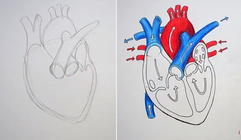 How to Draw the Artery and Vein from Sketch