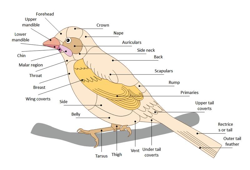 The Bird Anatomy