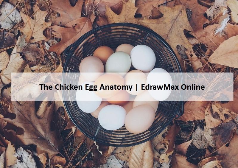 The Chicken Egg Anatomy