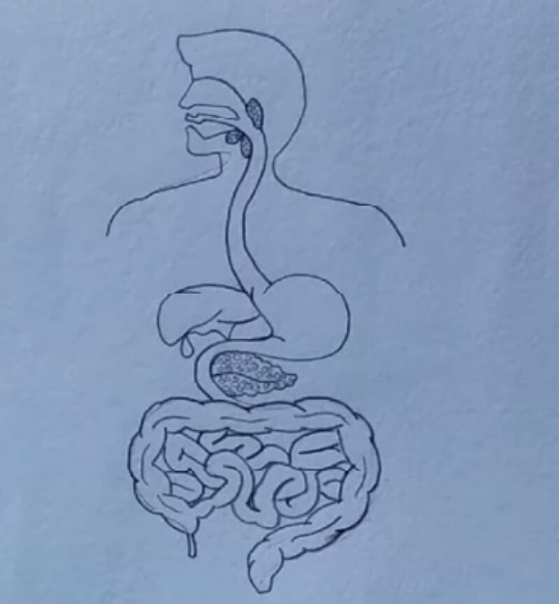 How to Create Digestion System Drawing from Sketch