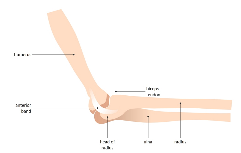 elbow joint diagram