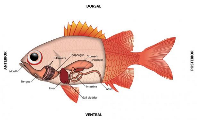 fish reproductive anatomy