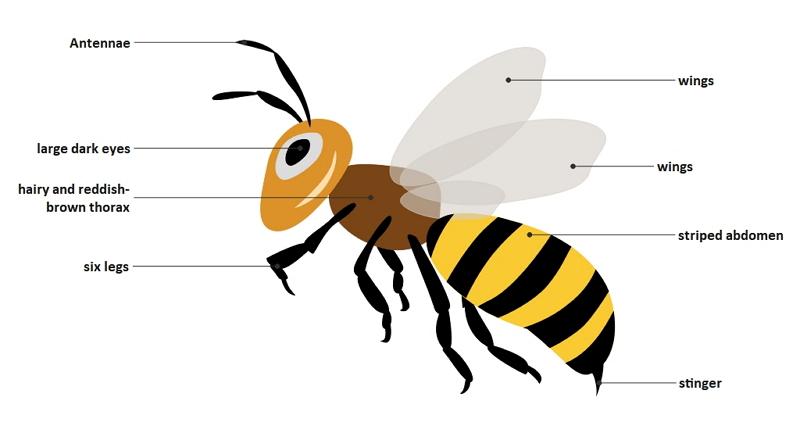 honeybee anatomy