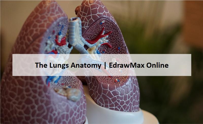 lung diagram