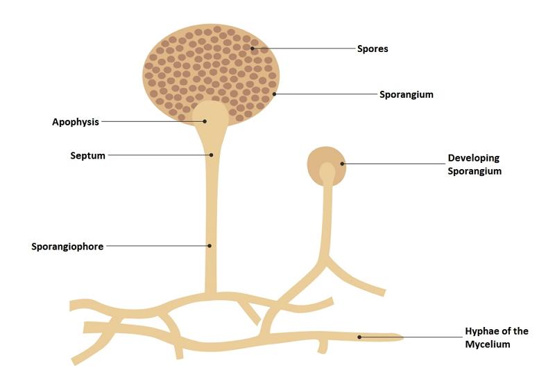Mucor Anatomy Diagram