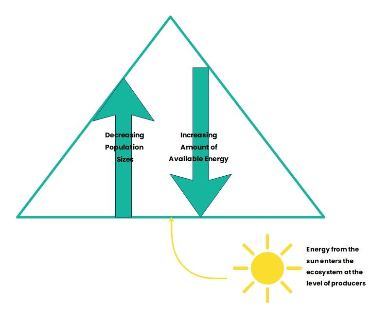 Flow of Energy Pyramid Diagram