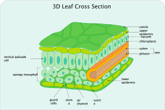 Biology leaf diagram
